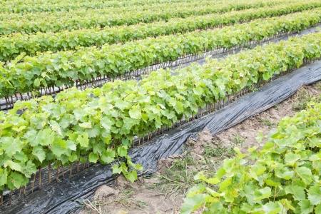 nursling: Row of vine saplings with selective focus