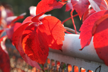 Autumn red leaves with shallow depth of field photo