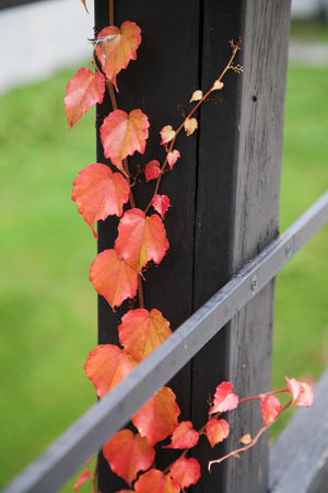 Autumn red leaves on wooden fence with selective focus photo