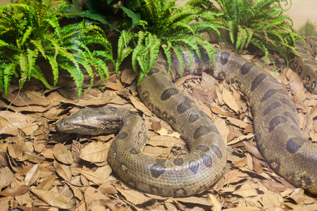 regius: Closeup of stuffed brown python snake in yellow leaves Stock Photo