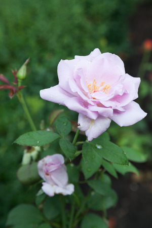 Closeup of blossomed pink rose with mildew