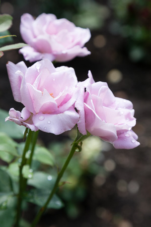incarnadine: Blossomed pink roses with mildew and selective focus