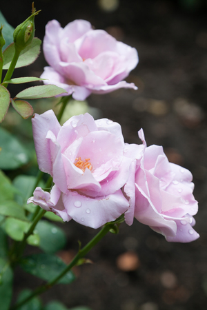 incarnadine: Blossomed pink rose with mildew and selective focus