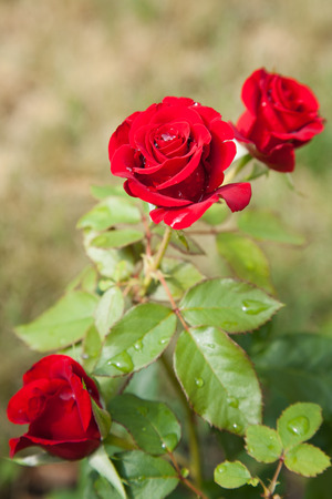 incarnadine: Blossomed red rose with mildew and selective focus Stock Photo