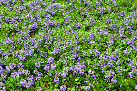 Field with violet decorative flowers in garden Stock Photo