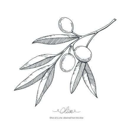 Hand drawn olive branch. Vector sketch illustration.