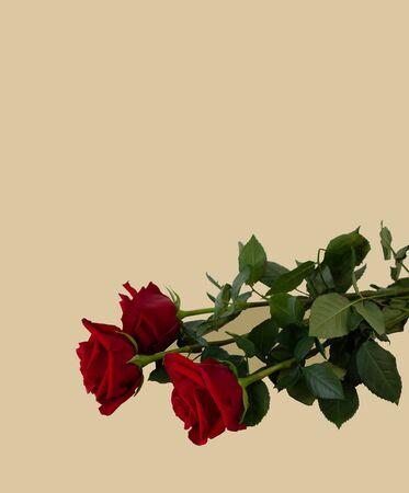 与拷贝空间玫瑰的贺卡模板在颜色背景