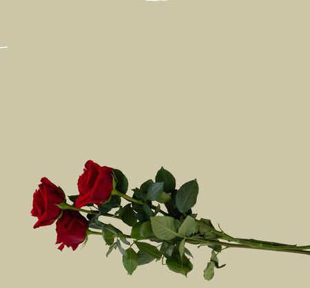 Greeting card template with copy Space roses on a color background Foto de archivo
