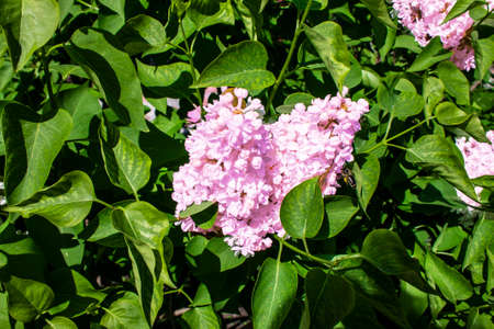 blooming lilac bush in pink flowers in the garden in summer