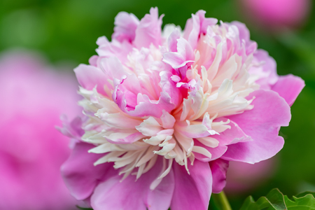 Peony. Beautiful flower in spring time. Pink peony. Blooming flower in soft focus in the orchard. Nature wallpaper backdrop. Closeup.