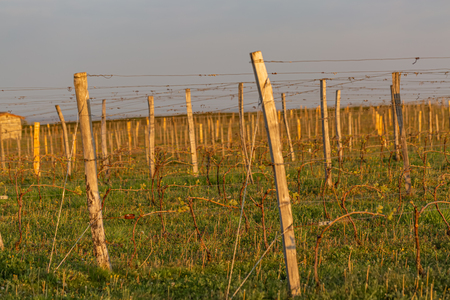 Wooden poles with stretched metal wire support the vineyard. Old french vine lit by evening light. Purple sky. Art photography. Toned image, selective focus. Copy space.