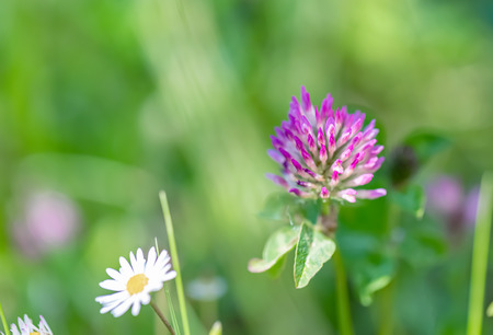 Blooming clover on a green meadow on a sunny day. Grass and flowers in the field in the summer. Nature blurred background. Shallow depth of field. Toned image. Copy space. Art photography.