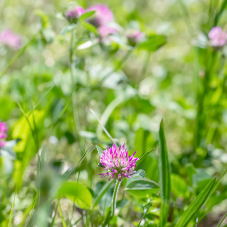 Blooming pink clover on a green meadow on a sunny day. Grass and flowers in the field in the summer. Nature blurred background. Shallow depth of field. Toned image. Copy space. Art photography.