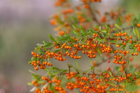 Hawthorn bush laden with berries in autumn. Decorative bush with orange berries. Small orange berries with green leaves. Soft focus. Toned image