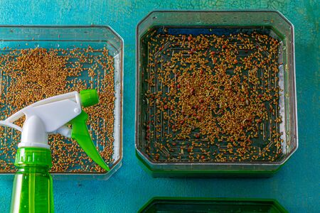 Seeds of red cabbage, alfalfa, radish, dill for germination and addition to food. Healthy vegetarian food. Fresh sprouts of germinated seeds closeup in a plastic box. Green pulverizer. Top view.