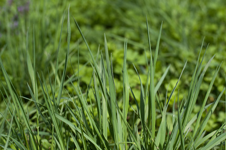 Green grass natural background. Green grass in a sunny summer day texture and background. Detailed close up macro bright colorful vital vibrant happiness.