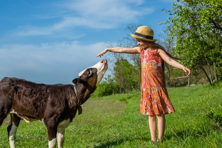 little girl is stroking a calf in a field. sunny day