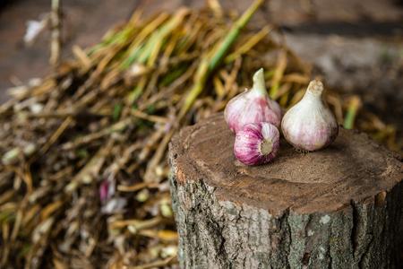 Head of garlic close-up, freshly harvested crop Imagens