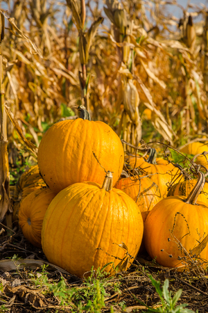Pumpkins in the garden, against the background of other plants. Autumn, harvest, harvesting. 스톡 콘텐츠