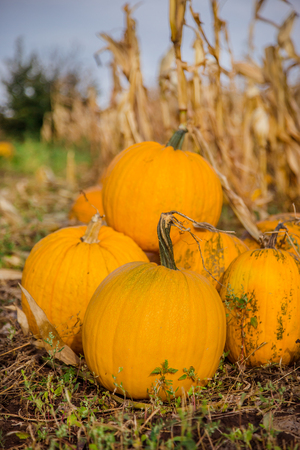 Pumpkins in the garden, against the background of other plants. Autumn, harvest, harvesting. Stock Photo