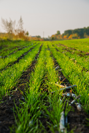 Young wheat seedlings growing in a field. Young green wheat growing in soil. Agricultural crops.