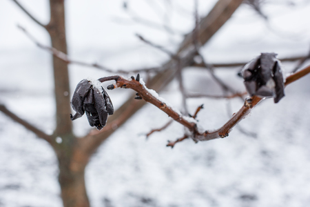 Frozen tree branches covered with white scaly ice. Season frost, abandoned harvest. Stok Fotoğraf