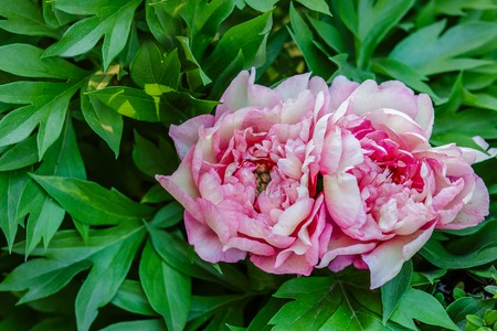 Beautiful tree peonies on a sunny day in the garden. Growing flowers.