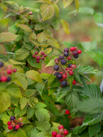 Organic blackberry bush. Growing Organic Berries closeup. Ripe Blackberry in the fruit garden. Standard-Bild
