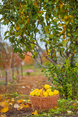 Quince autumn harvest, full basket of quince in the garden 免版税图像
