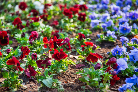 Pansies in a natural environment in the park. Flower beds in a public park.