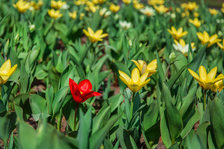 Red and yellow tulips on green grass as background. Garden with tulips. Flowers in the meadow.