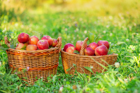 Picking apples. Crowded baskets of red apples in the garden on the grass. Organic apples.