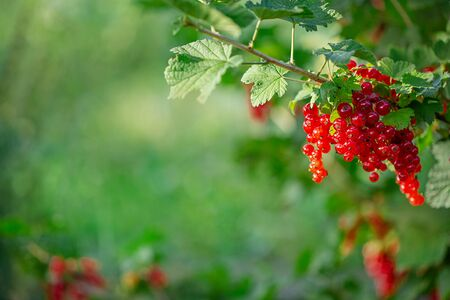 Red ripe currant on a green branch on a sunny day close up. Red currant berries on a blurry background of green bushes. Growing organic berries. Stockfoto - 128616604