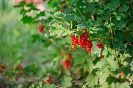 Red ripe currant on a green branch on a sunny day close up. Red currant berries on a blurry background of green bushes. Growing organic berries.