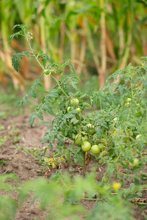 Green vine tomatoes. Green unripe tomatoes on the bushes. Tomatoes on the vine, tomatoes growing on the branches. Green vegetables on the ground. Stockfoto