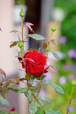 Beautiful roses in the garden, growing different varieties of flowers. Gardening as a hobby.