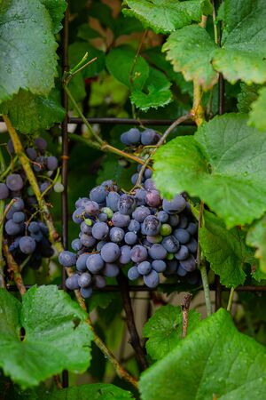 A bunch of blue ripe grapes on the vine. Growing grapes in the garden. Stok Fotoğraf