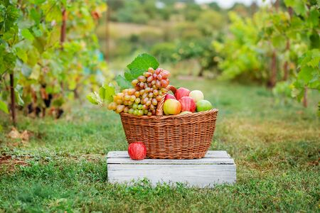 Basket with fruits, apples, grapes in the garden. Arrangement in the garden with blue and green grapes, a basket, a glass of red drink and a bottle on the table against the background of the garden.
