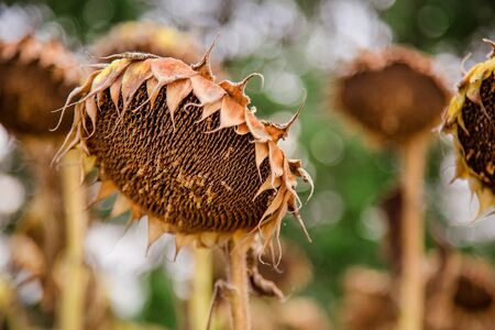 Closeup of dried ripe sunflowers on a sunflower field awaiting harvest on a sunny day. Field agricultural crops