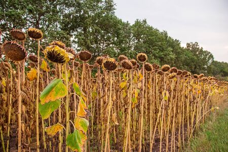 Close Up of dried ripe sunflowers on a sunflower field awaiting harvest on a sunny day. Field agricultural crops.