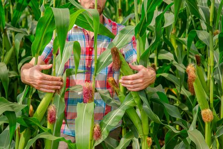 Male farmer checking plants on his farm. Agribusiness concept, agricultural engineer standing in a corn field with a tablet, writes information. Agronomist inspects crops, plants.