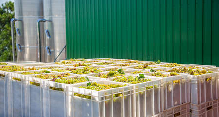 Starting Wine Making Process. Yellow grapes harvesting Fresh yellow grapes in boxes after the harvest. 免版税图像 - 156723952