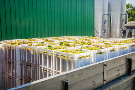 Starting Wine Making Process. Yellow grapes harvesting Fresh yellow grapes in boxes after the harvest.