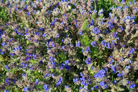 pulmonaria: lungwort pulmonaria summer day on the meadow Turkish