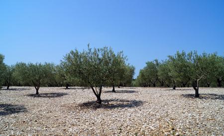arboleda: olivar Foto de archivo