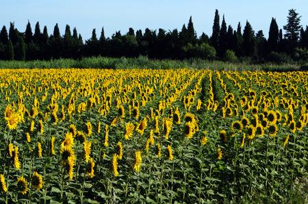 girasol: Girasoles gire el sol Foto de archivo
