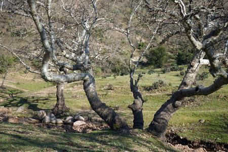 gnarled: gnarled tree Foto de archivo