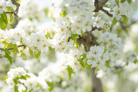 white pear blossom with sunlight, beautiful flowers in spring season 免版税图像