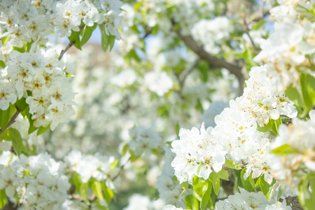 white pear blossom with sunlight, beautiful flowers in spring season Imagens