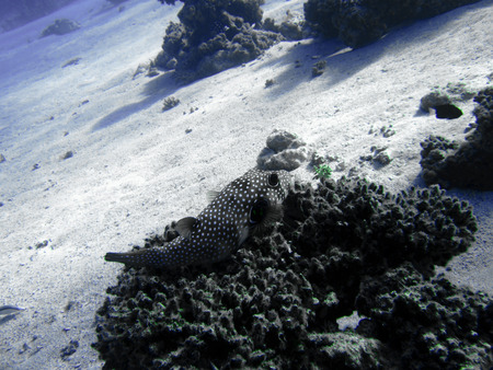redtail: Fish is sitting on the corals. The coral reef. Underwater paradise for scuba diving, freediving. Red sea, Dahab, Egypt.